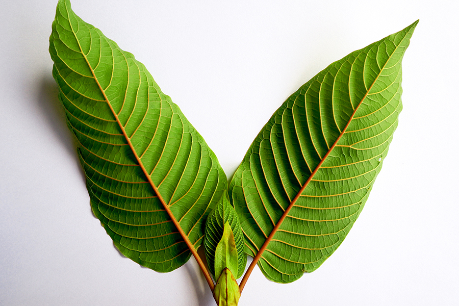 What You Must Have Requested Your Educators Regarding Kratom Remove